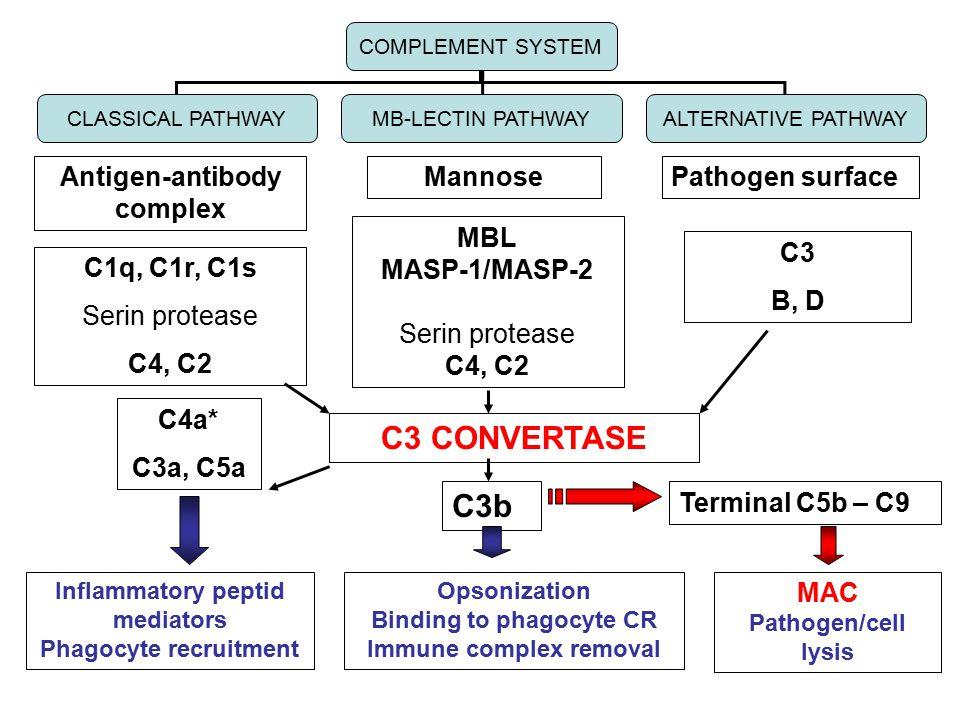 Antigen-antibody complex MannosePathogen surface C1q, C1r, C1s Serin protease C4, C2 MBL MASP-1/MASP-2 Serin protease C4, C2 C3 B, D COMPLEMENT SYSTEM CLASSICAL PATHWAYMB-LECTIN PATHWAYALTERNATIVE PATHWAY C3 CONVERTASE C4a* C3a, C5a Inflammatory peptid mediators Phagocyte recruitment C3b Opsonization Binding to phagocyte CR Immune complex removal Terminal C5b – C9 MAC Pathogen/cell lysis