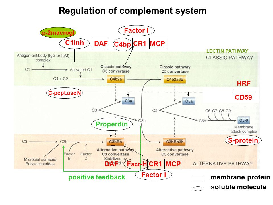 DAF C1Inh Properdin positive feedback Factor I CR1MCP C4bp Factor I F act -H CR1MCP DAF CD59 HRF S-protein  -2macrogl LECTIN PATHWAY Regulation of complement system membrane protein soluble molecule C-pept.ase N