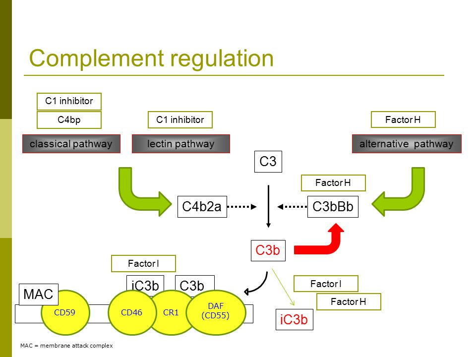 C3b C3 Complement regulation lectin pathway C4b2a classical pathway C3bBb alternative pathway MAC = membrane attack complex iC3bC3b CR1CD46CD59 MAC Factor I DAF (CD55) C1 inhibitor C4bp C1 inhibitor Factor H Factor I iC3b Factor H