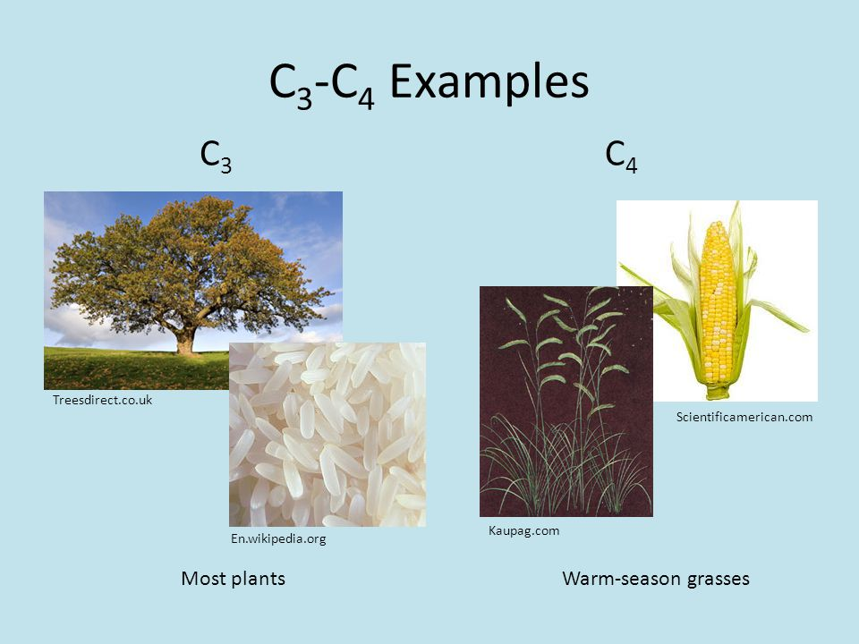 C 3 -C 4 Examples C4C4 C3C3 Kaupag.com Warm-season grasses Scientificamerican.com Treesdirect.co.uk Most plants En.wikipedia.org