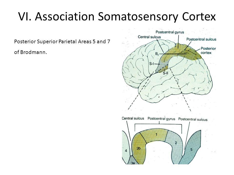 VI. Association Somatosensory Cortex Posterior Superior Parietal Areas 5 and 7 of Brodmann.