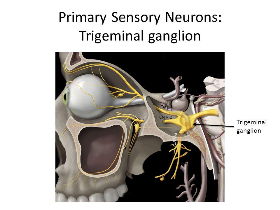 Primary Sensory Neurons: Trigeminal ganglion CN V-1 CN V-2 CN V-3 Trigeminal ganglion