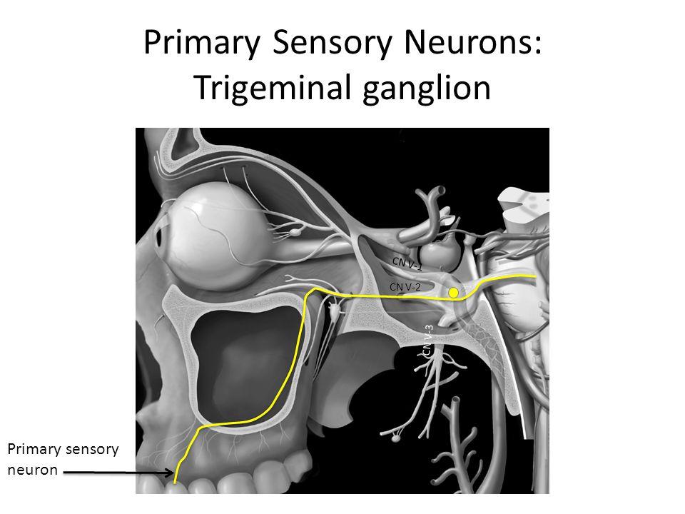 Primary Sensory Neurons: Trigeminal ganglion CN V-1 CN V-2 CN V-3 Primary sensory neuron