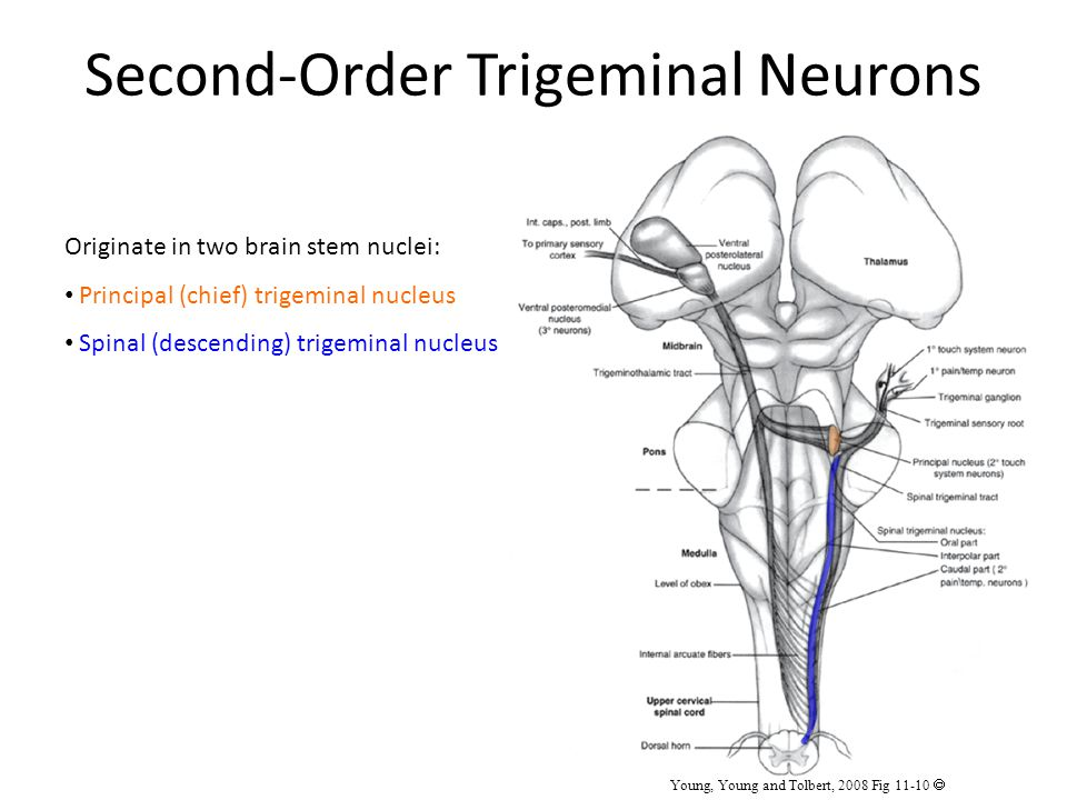 Second-Order Trigeminal Neurons Originate in two brain stem nuclei: Principal (chief) trigeminal nucleus Spinal (descending) trigeminal nucleus Young, Young and Tolbert, 2008 Fig 11-10 