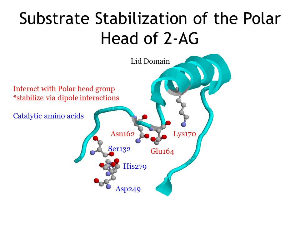 Substrate Stabilization of the Polar Head of 2-AG Lys170 Glu164 Asn162 Ser132 His279 Asp249 Lid Domain Interact with Polar head group *stabilize via dipole interactions Catalytic amino acids