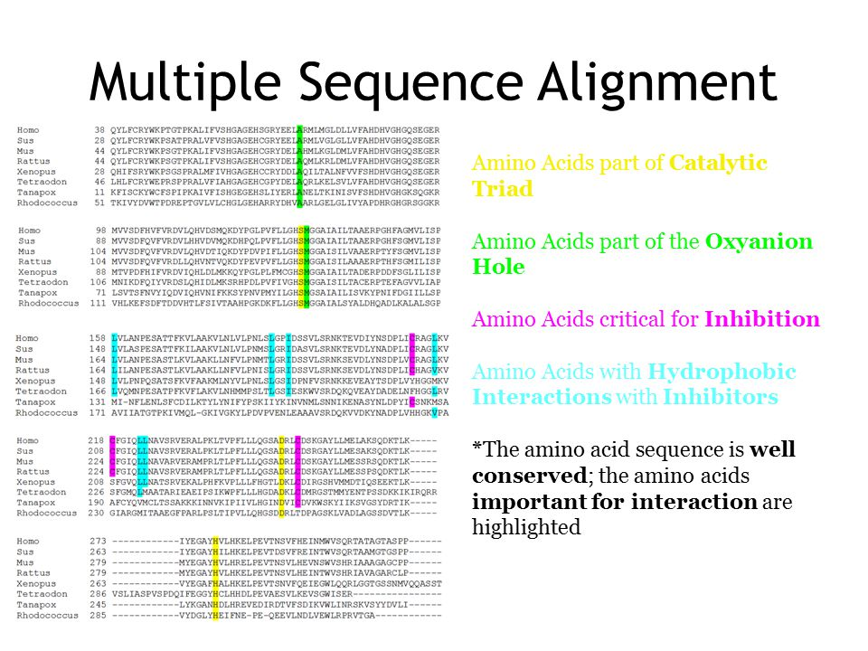 Multiple Sequence Alignment Amino Acids part of Catalytic Triad Amino Acids part of the Oxyanion Hole Amino Acids critical for Inhibition Amino Acids with Hydrophobic Interactions with Inhibitors *The amino acid sequence is well conserved; the amino acids important for interaction are highlighted