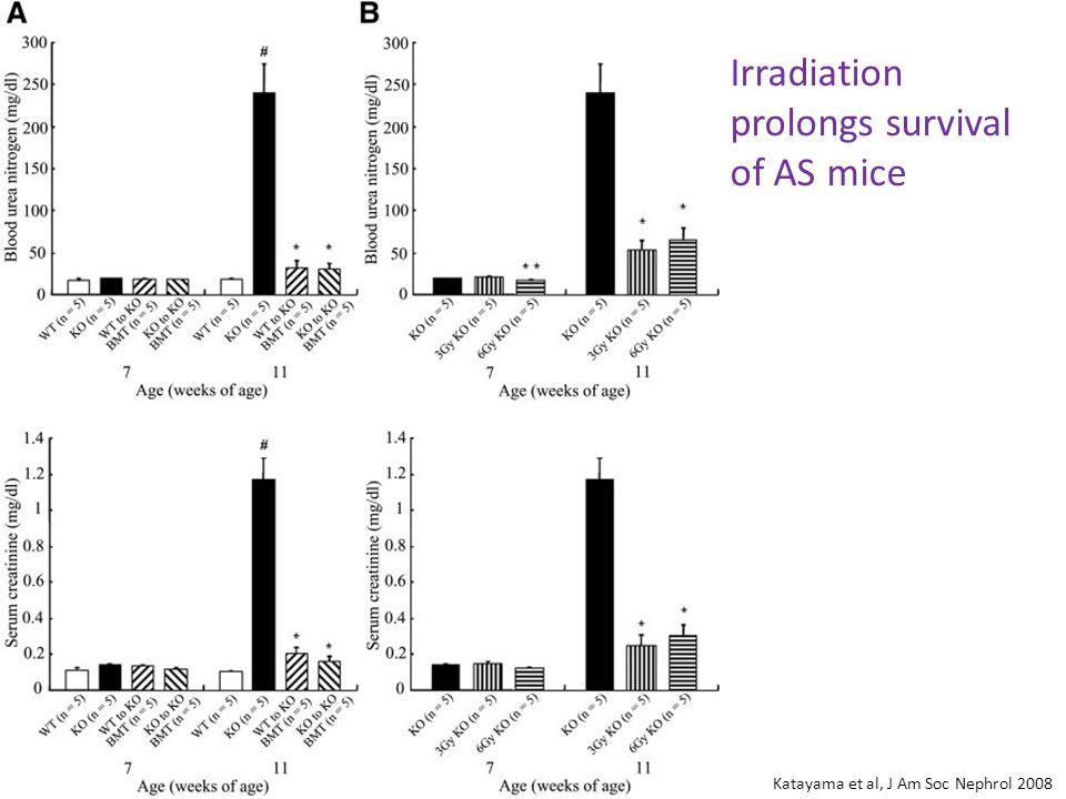 Irradiation prolongs survival of AS mice Katayama et al, J Am Soc Nephrol 2008
