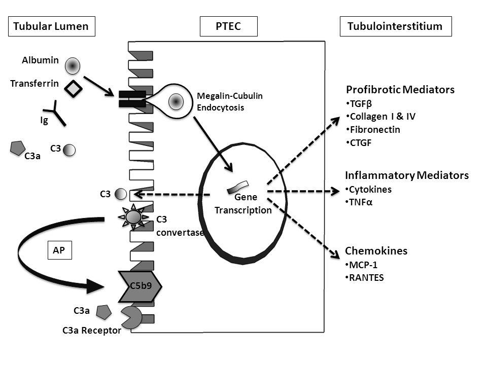 Tubular Lumen C3 convertase Profibrotic Mediators TGFβ Collagen I & IV Fibronectin CTGF Inflammatory Mediators Cytokines TNFα Chemokines MCP-1 RANTES C5b9 AP Albumin C3 C3a Receptor Transferrin Megalin-Cubulin Endocytosis C3a Ig PTEC Tubulointerstitium Gene Transcription C3a