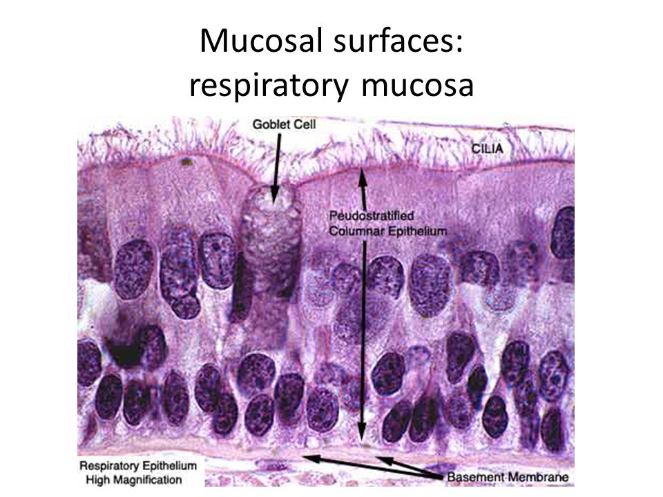 Mucosal surfaces: respiratory mucosa