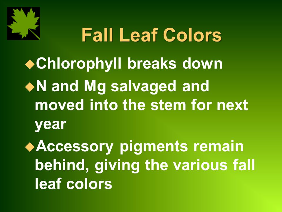 Fall Leaf Colors u Chlorophyll breaks down u N and Mg salvaged and moved into the stem for next year u Accessory pigments remain behind, giving the various fall leaf colors