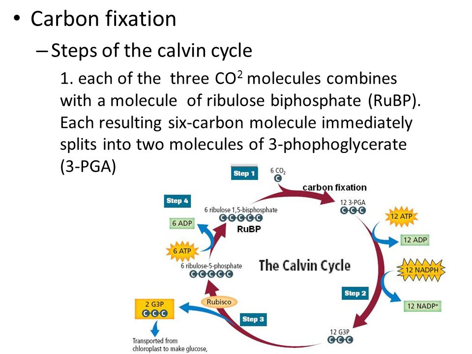 Carbon fixation – Steps of the calvin cycle 1.