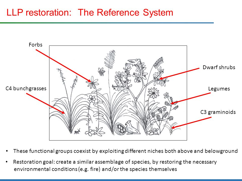 LLP restoration: The Reference System C4 bunchgrasses C3 graminoids Legumes Dwarf shrubs Forbs These functional groups coexist by exploiting different niches both above and belowground Restoration goal: create a similar assemblage of species, by restoring the necessary environmental conditions (e.g.