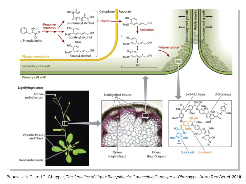 Restoration of the ability to synthesize flavonoids does not aggravate the growth phenotype of the tt4-2 HCT-RNAi plants.