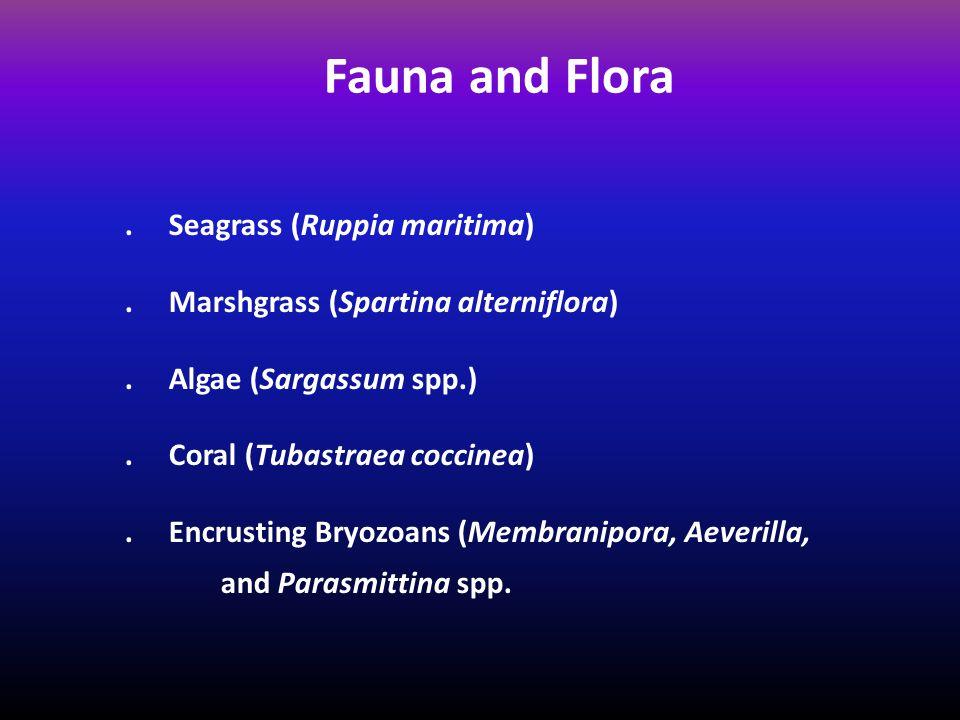 Fauna and Flora. Seagrass (Ruppia maritima). Marshgrass (Spartina alterniflora).