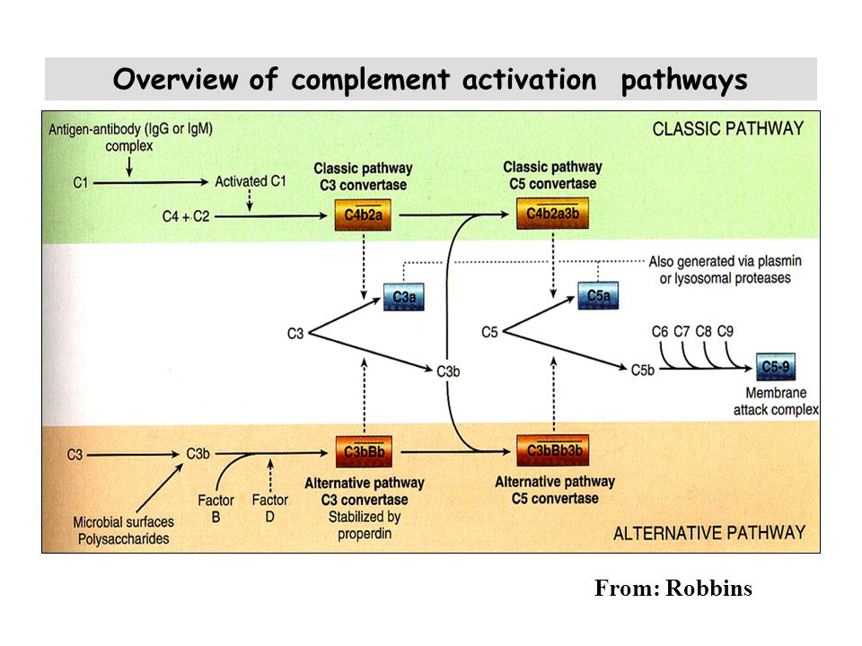 Overview of complement activation pathways From: Robbins