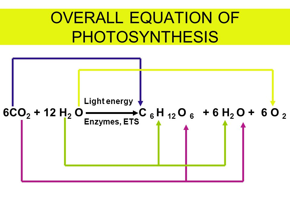 OVERALL EQUATION OF PHOTOSYNTHESIS 6CO 2 + 12 H 2 O Light energy Enzymes, ETS C 6 H 12 O 6 + 6 H 2 O + 6 O 2