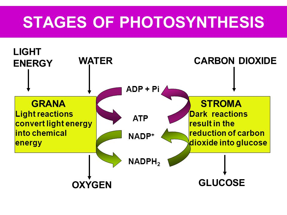 STAGES OF PHOTOSYNTHESIS LIGHT ENERGY WATER OXYGEN GRANA Light reactions convert light energy into chemical energy CARBON DIOXIDE GLUCOSE STROMA Dark