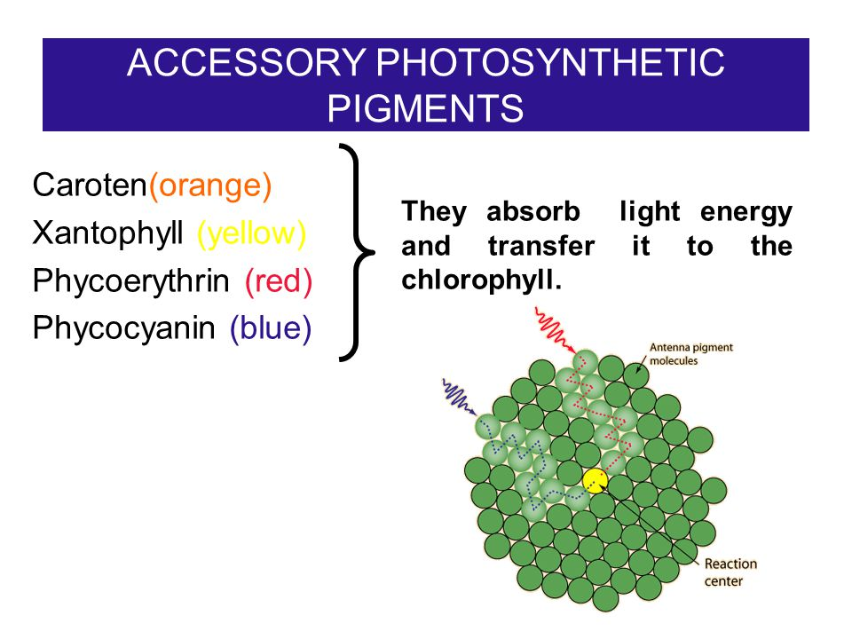 ACCESSORY PHOTOSYNTHETIC PIGMENTS Caroten(orange) Xantophyll (yellow) Phycoerythrin (red) Phycocyanin (blue) They absorb light energy and transfer it