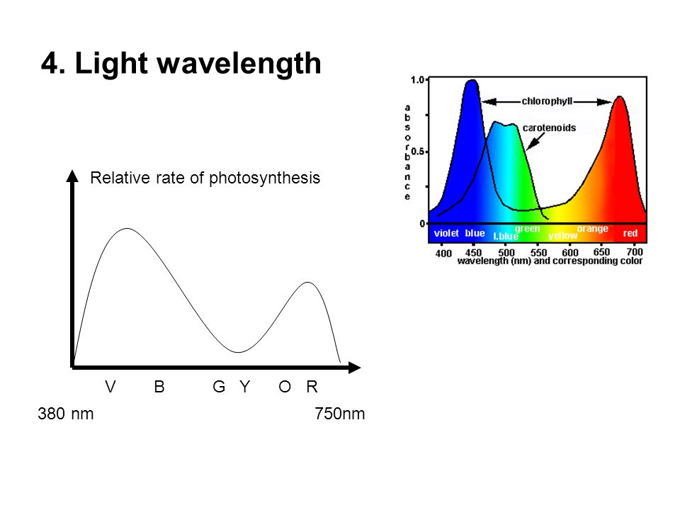 4. Light wavelength Relative rate of photosynthesis 380 nm 750nm V B G Y O R