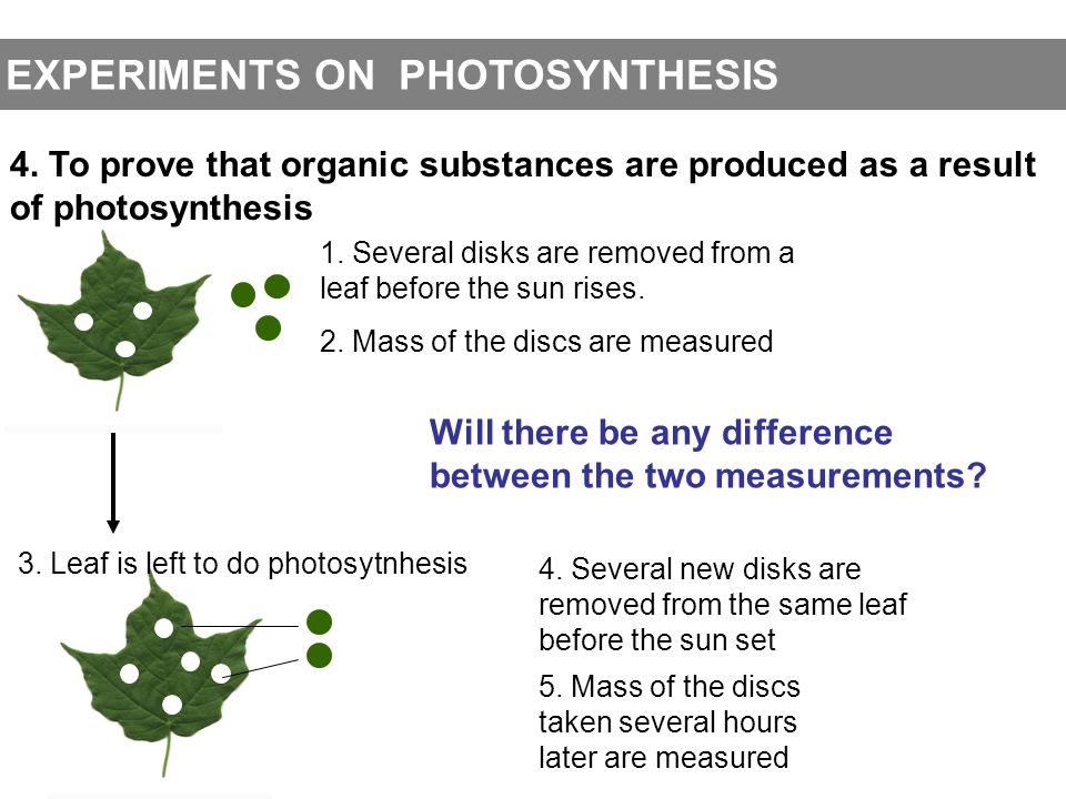EXPERIMENTS ON PHOTOSYNTHESIS 4. To prove that organic substances are produced as a resultof photosynthesis 1. Several disks are removed from aleaf be