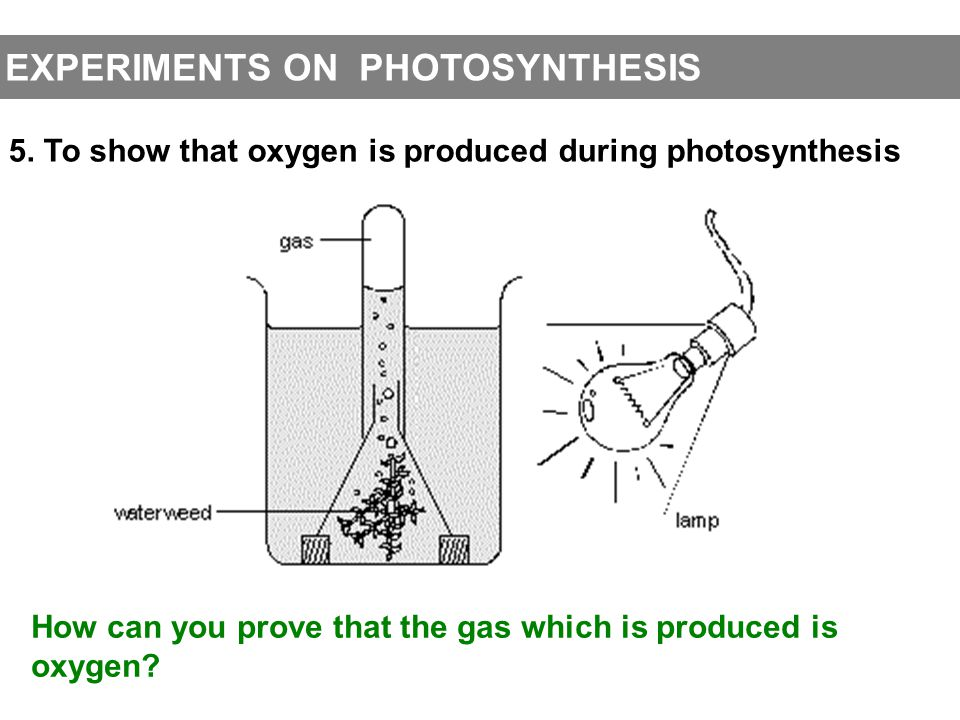 EXPERIMENTS ON PHOTOSYNTHESIS 5. To show that oxygen is produced during photosynthesis How can you prove that the gas which is produced isoxygen?