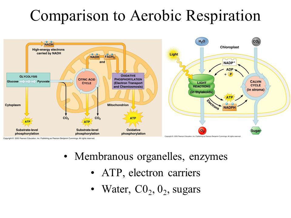 Comparison to Aerobic Respiration Membranous organelles, enzymes ATP, electron carriers Water, C0 2, 0 2, sugars