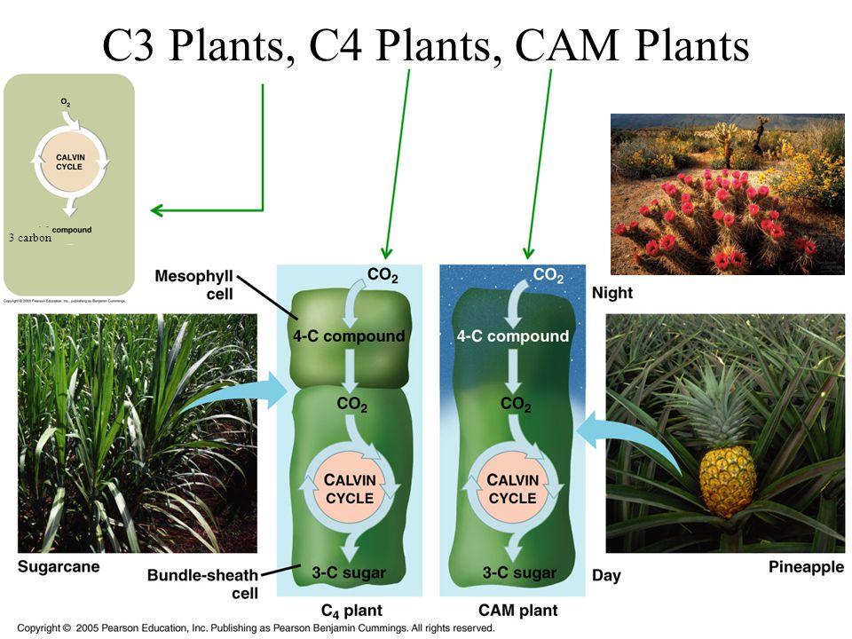 3 carbon C3 Plants, C4 Plants, CAM Plants