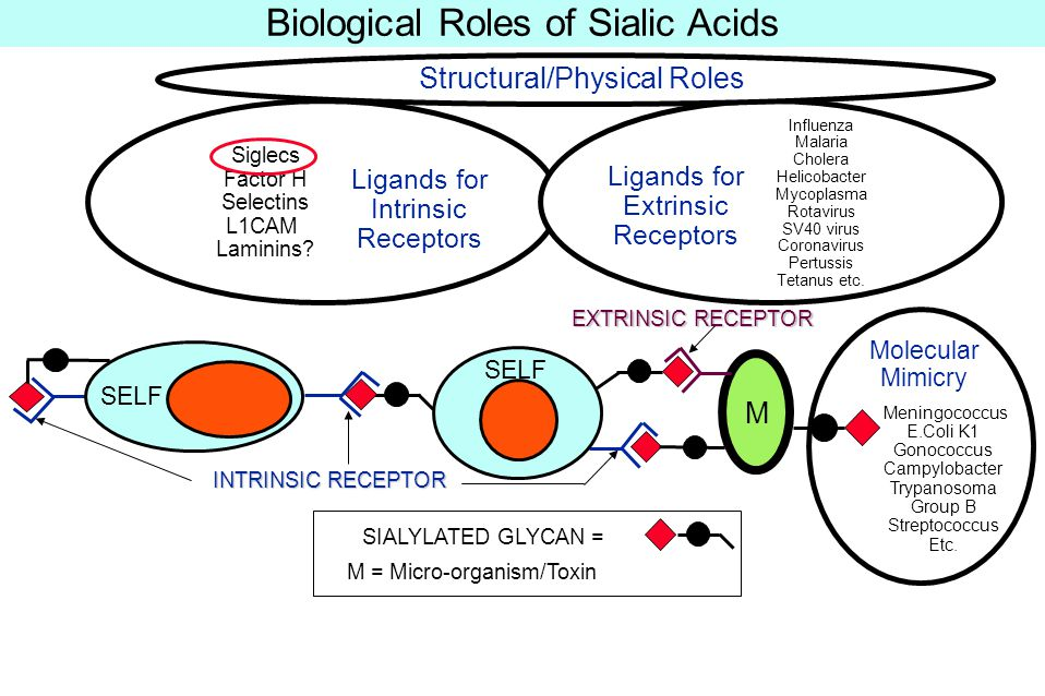 Examples of terminal glycan sequences recognized by some sialic-acid-binding proteins.