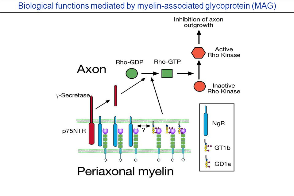 Proposed Biological functions mediated by CD22: CD22 glycan-dependent homotypic interactions in equilibrium with CD22–BCR interactions.