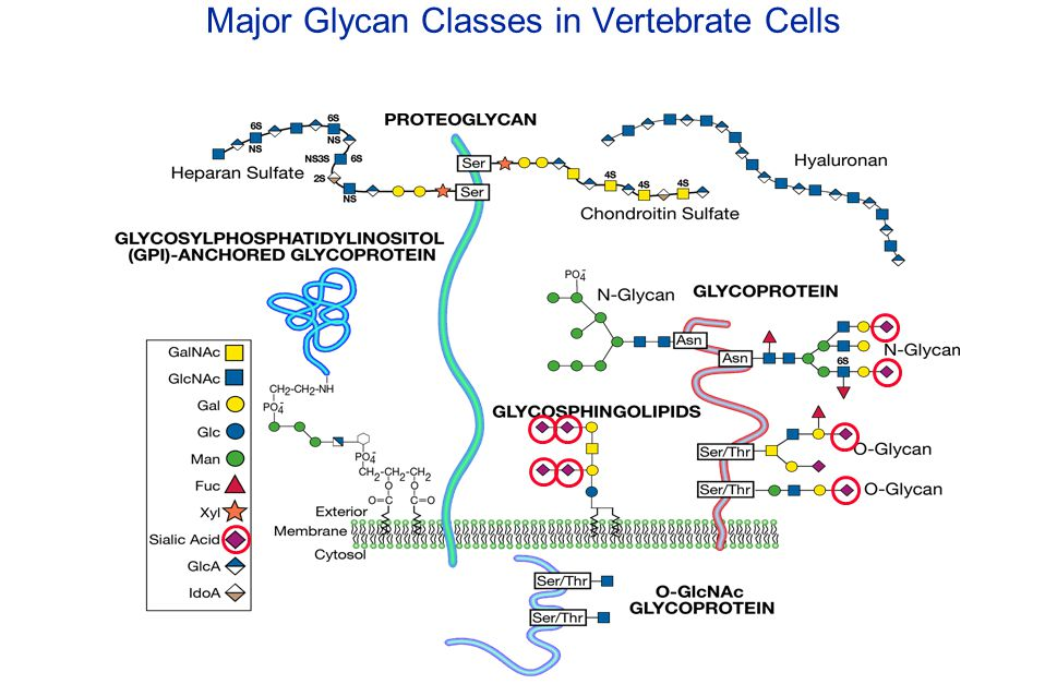 Essentials of Glycobiology May 1st, 2008 Ajit Varki Lecture 11 Chapter 12 : Sialic Acids Chapter 32 : I-type Lectins