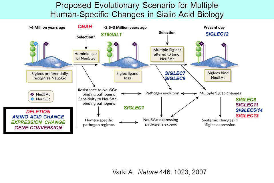 Proposed Evolutionary Scenario for Multiple Human-Specific Changes in Sialic Acid Biology Varki A.