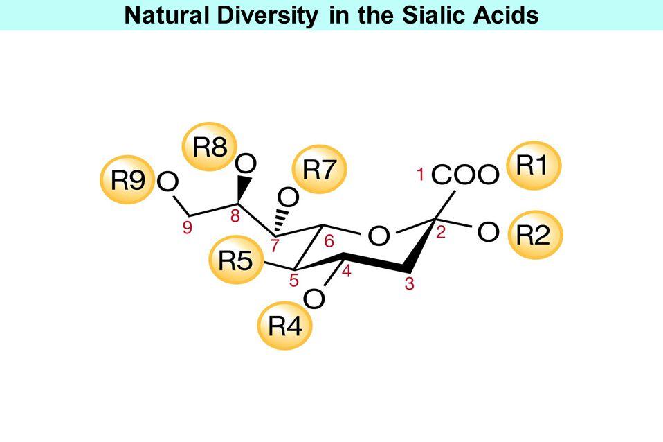 Biological Roles of Sialic Acids EXTRINSIC RECEPTOR M Ligands for Intrinsic Receptors Siglecs Factor H Selectins L1CAM Laminins? SIALYLATED GLYCAN = M