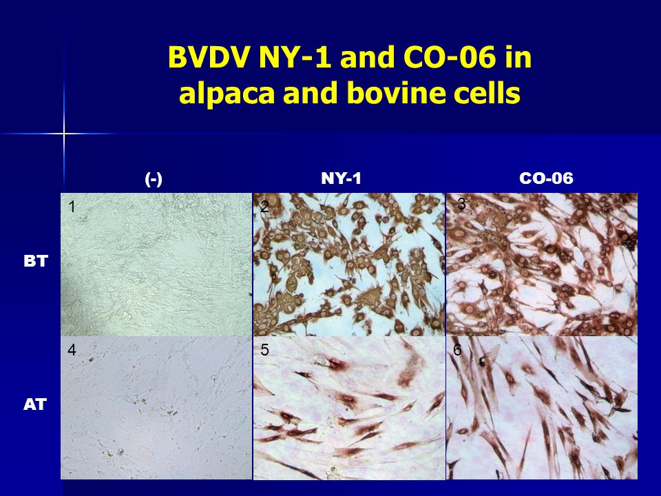BVDV NY-1 and CO-06 in alpaca and bovine cells 4 12 3 56 BT AT (-)NY-1CO-06