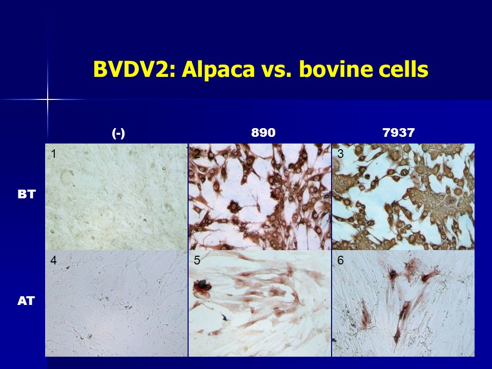 BVDV2: Alpaca vs. bovine cells 4 123 56 BT AT (-)8907937