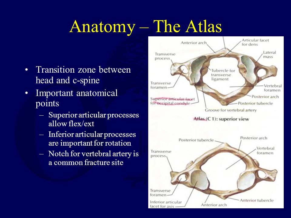 Anatomy – The Atlas Transition zone between head and c-spine Important anatomical points –Superior articular processes allow flex/ext –Inferior articu