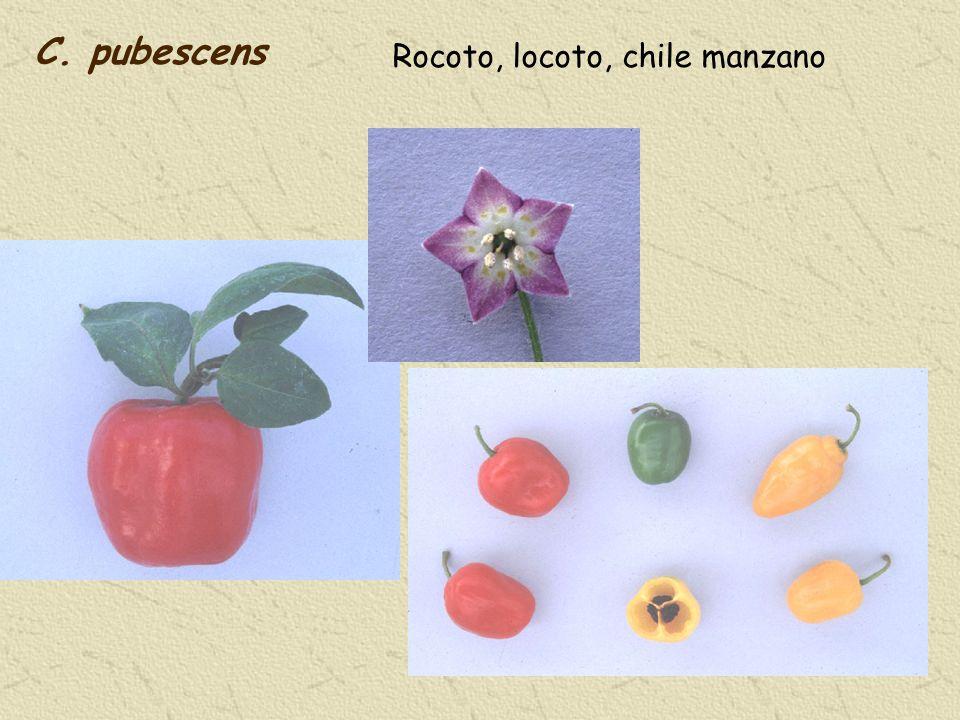 C. pubescens Rocoto, locoto, chile manzano