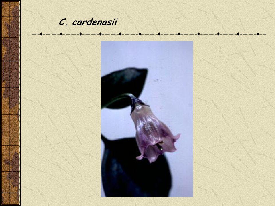 C. cardenasii