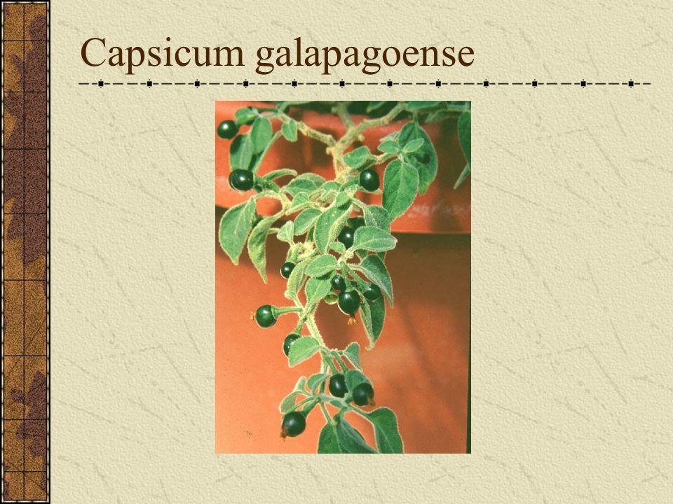 Capsicum galapagoense