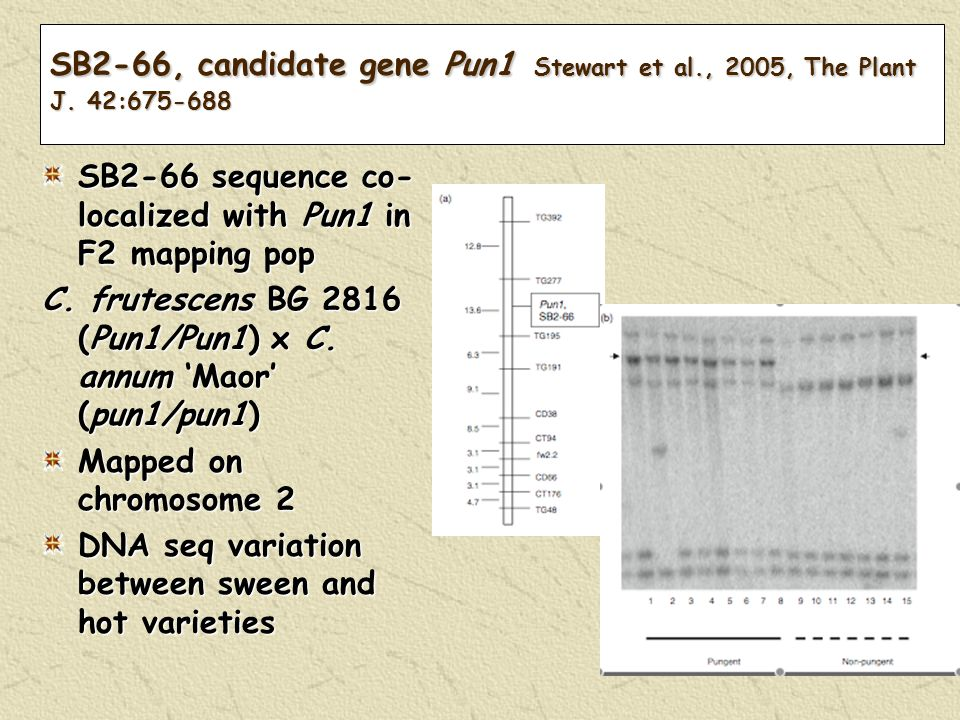 SB2-66, candidate gene Pun1 Stewart et al., 2005, The Plant J. 42:675-688 SB2-66 sequence co- localized with Pun1 in F2 mapping pop C. frutescens BG 2
