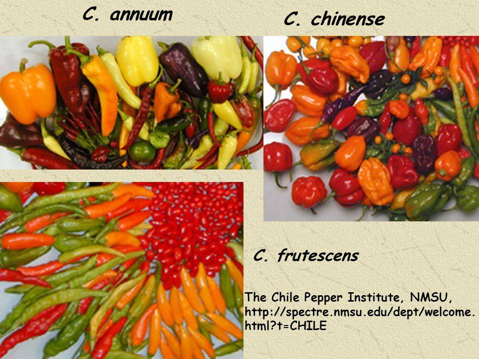 Genes controlling main traits of Capsicums > 292 described genes for: Morphology,Physiology,Sterility Disease and pest resistance Wang D & P Bosland (2006) HortScience 41:1169-1187