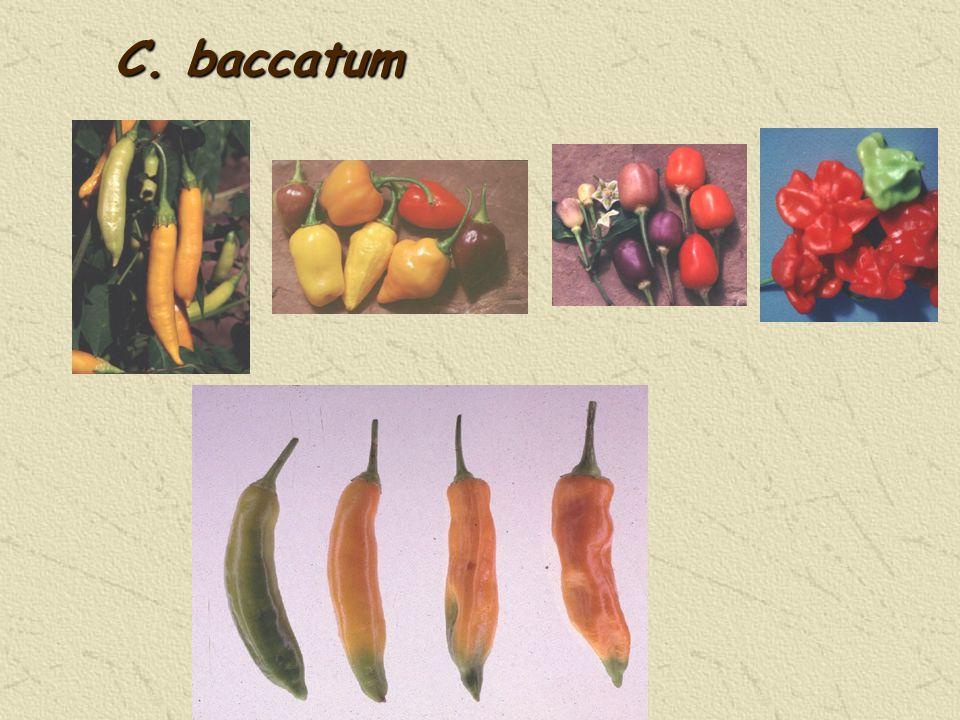 C. baccatum