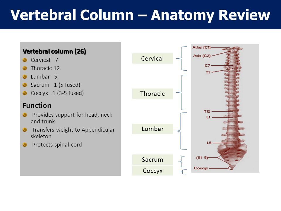 Vertebral Column – Anatomy Review Vertebral column (26) Cervical 7 Thoracic 12 Lumbar 5 Sacrum 1 (5 fused) Coccyx 1 (3-5 fused) Function Provides support for head, neck and trunk Transfers weight to Appendicular skeleton Protects spinal cord Cervical Thoracic Lumbar Sacrum Coccyx
