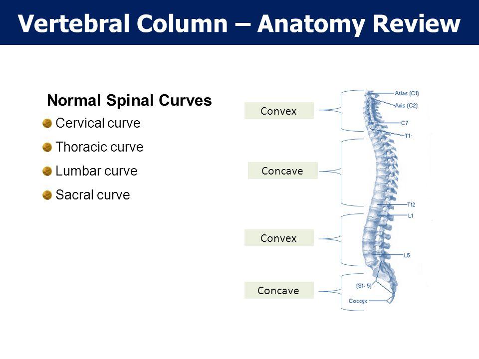 Vertebral Column – Anatomy Review Convex Concave Normal Spinal Curves Cervical curve Thoracic curve Lumbar curve Sacral curve