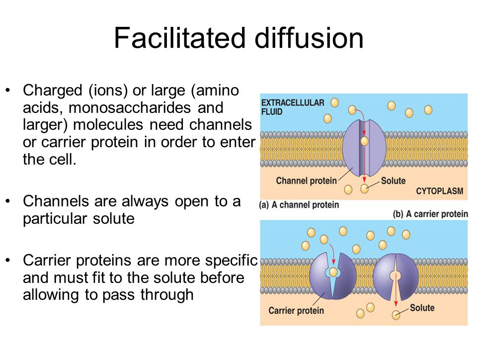 Facilitated diffusion Charged (ions) or large (amino acids, monosaccharides and larger) molecules need channels or carrier protein in order to enter the cell.