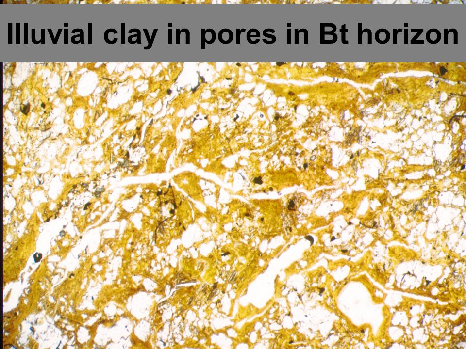 Illuvial clay in pores in Bt horizon