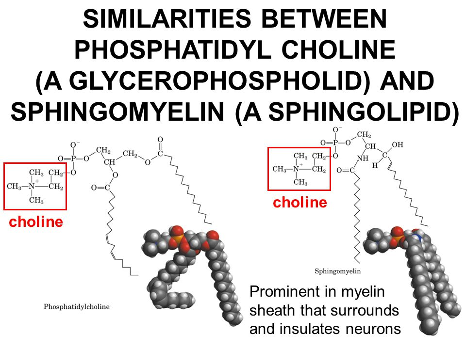 SIMILARITIES BETWEEN PHOSPHATIDYL CHOLINE (A GLYCEROPHOSPHOLID) AND SPHINGOMYELIN (A SPHINGOLIPID) choline Prominent in myelin sheath that surrounds a