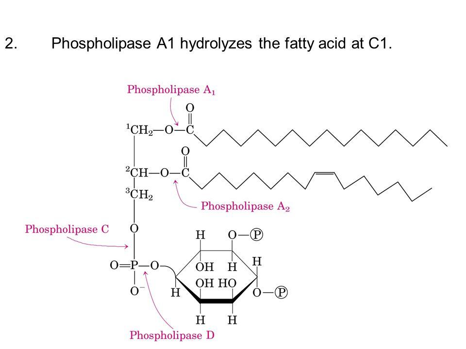 2.Phospholipase A1 hydrolyzes the fatty acid at C1.