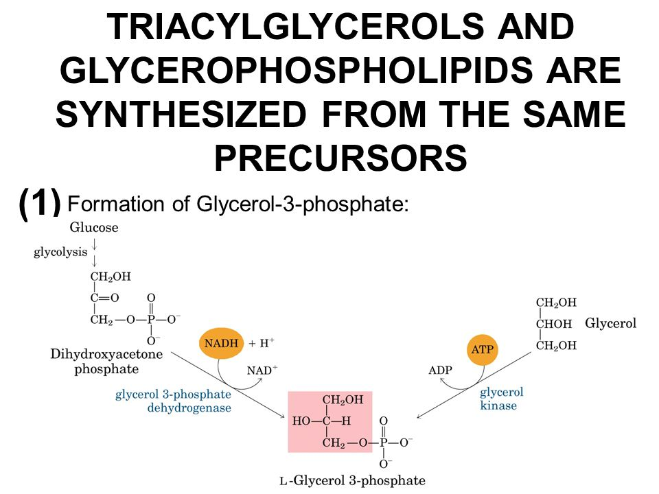 TRIACYLGLYCEROLS AND GLYCEROPHOSPHOLIPIDS ARE SYNTHESIZED FROM THE SAME PRECURSORS (1) Formation of Glycerol-3-phosphate: