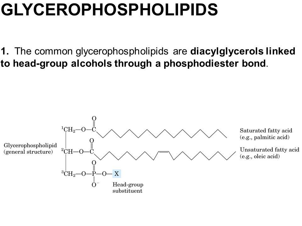 GLYCEROPHOSPHOLIPIDS 1. The common glycerophospholipids are diacylglycerols linked to head-group alcohols through a phosphodiester bond.