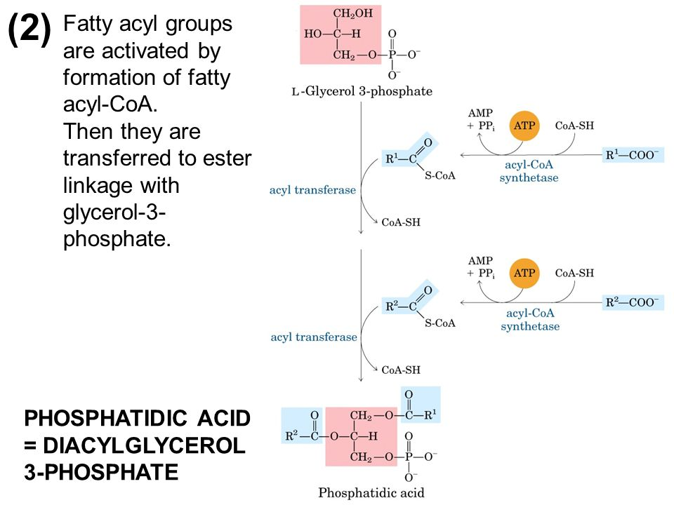 (2) Fatty acyl groups are activated by formation of fatty acyl-CoA. Then they are transferred to ester linkage with glycerol-3- phosphate. PHOSPHATIDI